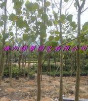 菩提树产地直销,菩提树报价,菩提树生产供应商,菩提树基地