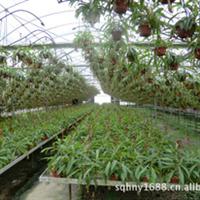 厂家直销供应园林植物猪笼草(图)
