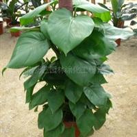 供应 室内常绿藤本植物 绿萝 大绿植盆栽