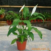 供应 室内观叶植物 亮叶白掌 绿植盆栽