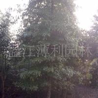 供应桢楠四季常绿树5-50公分高度6-20米冠幅2米-6米