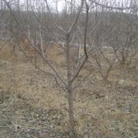 供应大量山杏树苗木  其他灌木 乔木 等