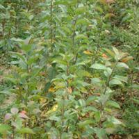 供应大量海棠苗 各种苗木 灌木 乔木