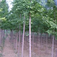供应大量银杏树,木槿,丁香,各种树苗,苗木等