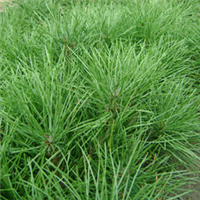 长期供应油松、黑松、雪松等其他各类绿化苗木、果树苗木