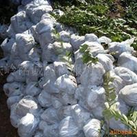供应水腊、绿篱灌木、水蜡、绿化苗木、水腊小苗、金叶水蜡