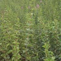 供应灌木小叶丁香|四季丁香|绿化苗木|花灌木种子|丁香种子