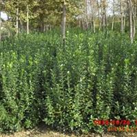 供应大量各种规格冬青苗,绿化苗木