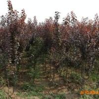 长期供应各种质优价廉多种规格紫叶李苗