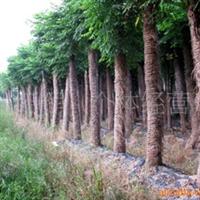 供应黄山栾树移栽绿化苗木 乔木