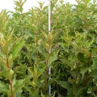 供应红王子锦带,红王子,绿化苗木,红花王子,花灌木