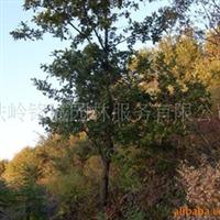蒙古栎,橡树,乔木灌木,绿化苗木蒙古栎,乔木柞树