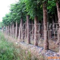 供应黄山栾树绿化苗木。