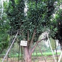 供应香泡树(柚子树)等果树绿化苗木 乔木