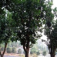 供应移栽香泡果树绿化苗木,水果苗木