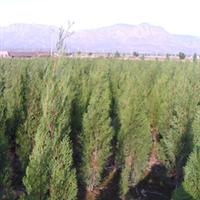 供应大量 侧柏苗  绿化苗木   1年侧柏