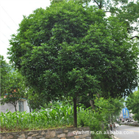 长阳万和苗木供应绿化苗木,桂花树,成活率高,花期长!