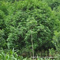 供应优质绿化苗木,桂花树,成活率高,花期长!