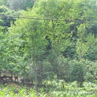 优质绿化苗木,桂花树,成活率高,花期长,欢迎来电咨询!
