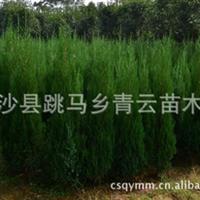 厂家直销大量各种造型精品龙柏小苗  成活率高