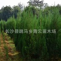 长期批发供应精品造型龙柏小苗  实物拍摄参考