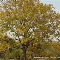 苗木基地大批量自产自销供应:七叶树.黄连木
