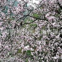 宁波专业生产各类优质花木 各类海棠花木