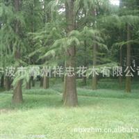 宁波四明山花木 专业培植各类优质水杉