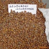 专业供应优质新采加拿利海枣种子