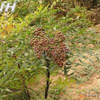 供应优质南天竹种子