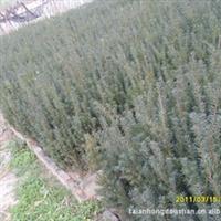 泰山曼地亚红豆杉秋季苗木上市