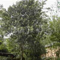 专业供应优质枇杷树苗,各种规格枇杷树苗