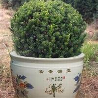 现货供应高优质的曼地亚红豆杉  质优价廉
