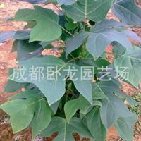 出售园林苗圃 绿化苗木园艺植物学 中国郁金香马褂木鹅掌楸两年苗