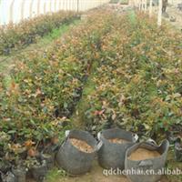 山东青岛供应 树种工程绿化苗木 红叶石楠  欢迎订购