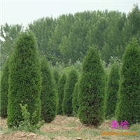 常绿树种 厂矿绿化  桧柏