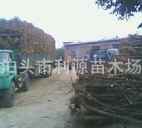 常年大量供应北京天津廊坊石家庄占地枣树苗