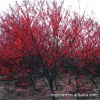 大量出售红叶碧桃6-13公分,红叶桃,红叶碧桃小苗