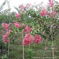 大量供应各种规格绿化苗   速生紫薇、紫薇苗