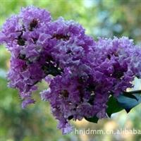 新品速生紫薇小苗     特别供应 速生紫薇