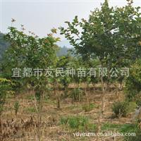 供应优质花灌木-丛生紫薇 丛生百日红 各种绿化苗木