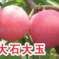 供应大石大玉李树苗   新品种果苗种苗  水果