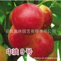 油桃 中油9号  果树苗  较新油桃品种