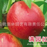 油桃 满园红 较新品种  果树苗木
