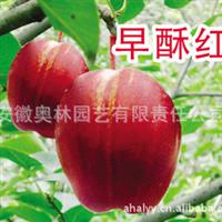 早酥红梨  南国梨   梨树苗
