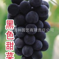 黑色甜菜  葡萄  葡萄苗