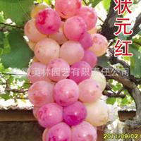 状元红 葡萄苗  葡萄新品种