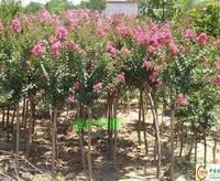 大量批发供应优质低价紫薇树