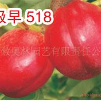 供应极早518油桃  油桃苗  果树新品种苗木  水果
