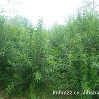 数量最大、品种最全牡丹石榴繁育基地-菏泽长青苗木花卉基地